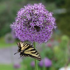 62 best purple flowers images on pinterest purple flowers bulb allium his excellency boasts big diameter purple flower heads on tall stems deer resistant and pollinators love this flower mightylinksfo