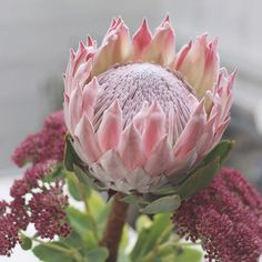 A pink protea to who donates for every shared pic in Oct to breast cancer research ♡ Take care ♡ Protea Art, Protea Flower, Flower Photography, Art Photography, Artichoke, Breast Cancer, Cactus, Drawings, Pretty