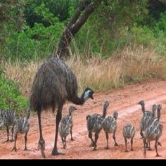 Emu family, you can't help but smile at the wildlife!