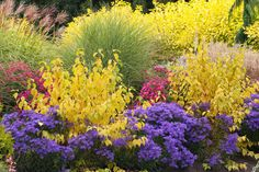 Garden ideas, Border ideas, Plant Combinations, Flowerbeds Ideas, Fall borders, Asters, Dogwood Midwinter Fire, New England Aster, Italian Aster, Miscanthus Morning Light