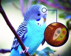 An international team of scientists led by Duke University researchers has uncovered key structural differences in the brains of parrots that may explain the birds' unparalleled ability to imitate sounds and human speech.