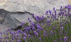I love the heady smell of lavendar