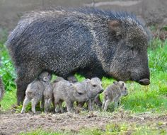 A litter of six Chacoan Peccary pups was born at San Francisco Zoo in early November. They are busy playing and exploring their outdoor habitat, in the company of the zoo's adult herd. The little ones love to leap and run in circles, an adorable behavior sometimes referred to as 'frisky hopping'.