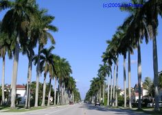 Hollywood Florida - Palm tree lined street