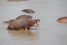 Luangwa River Camp Hippo Sighting -- Robin Pope Safaris -- Luxury Safari Lodge, Zambia