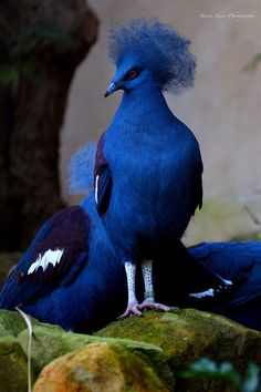 Southern Crowned Pigeon. Photo by Mac-Wiz / bleu / animaux / oiseau / pigeon / goura de victoria