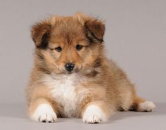 Sheltie puppy called Colin,oh,oh,oh! Cute Puppies, Cute Dogs, Dogs And Puppies, Shetland Sheepdog Puppies, Kitten Love, Sheltie, Dog Photos, Beautiful Dogs, Dog Friends