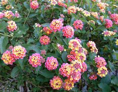 Lantana Bush.  I could be next to one for all day and be happy.