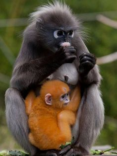 Oranje Brillangoer jong in Burgers Zoo.