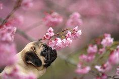Pug Smelling Flowers Spring