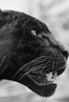 The Black panther is a rare, fearless, powerful and intelligent animal. It is one of the most aggressive and most feared animals in the world. The black panther is not a distinct animal species though. Beautiful Cats, Animals Beautiful, Beautiful Creatures, Big Cats, Cats And Kittens, Black Pantha, Regard Animal, Animals And Pets, Cute Animals