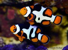 Amphiprion percula. Unusual looking -to me anyway - clown fish.
