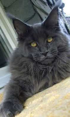 Blue Maine Coon, cool as f***...