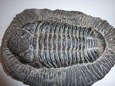 Trilobite