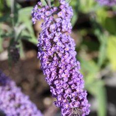 Buddleja davidii 'Purple Prince' - Vlinderstruik