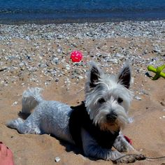 Westie beach fun.  We are there :)
