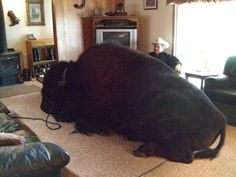 """Jim's wife Linda says of her husband and the buffalo: """"They have shared a bond since Bailey Junior was only a few weeks old when we adopted him after the tragic death of the first buffalo that Jim and I had raised. Bailey Sr had become a family member. I guess he became our baby. I know that sounds bizarre.""""    Picture: Sautner Family / Barcroft USA (via Pictures of the day: 9 November 2011 - Telegraph)"""