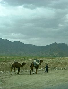 pashtundukhtaree:  Camels in Parwan, Afghanistan. photo credit: shawn thorsson