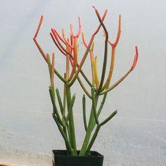 Euphorbia Tirucalli Pencil