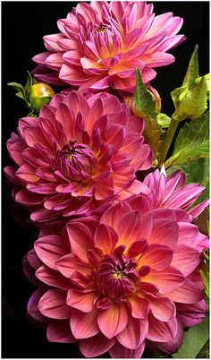 ✯ Dahlias... beautiful colours all here in one flower: yellow, peach, pink, white, fuschia, blue, mauve...