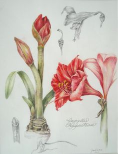 Amaryllis study, color pencils and graphite. Welcome to my page about amaryllis, hyacinths and other bulbs http://www.facebook.com/flowerindoorgardening #amaryllis #vase #bulb from Pinner friend JT