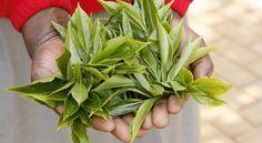 Fairtrade Tea | Fairtrade Australia Fair Trade, Spinach, Tea, Vegetables, Farmers, Plants, Australia, Food, Fair Trade Fashion