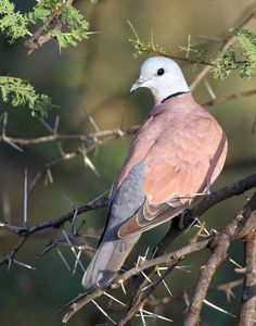 Red Collared Dove/Red Turtle Dove Pretty Birds, Beautiful Birds, Animals Beautiful, Cute Animals, All Birds, Little Birds, Love Birds, Exotic Birds, Colorful Birds