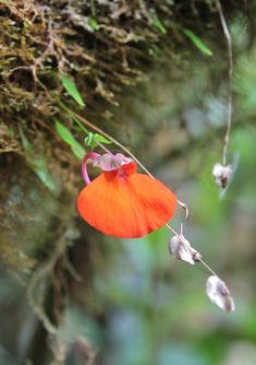 Utricularia campbelliana - mountain orange