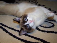 Breed - Siamese Snowshoe This looks a lot like my 6 toe named Humphrey only he is a lilac point not chocolate