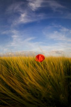 Coquelicot by mauclert michael on 500px