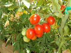 frizzi e pasticci: Pomodorini sfiziosi