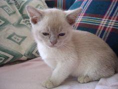 lilac burmese cat - Google Search