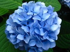 Hydrangea   Tattoo Ideas & Inspiration - Flowers   The hydrangea flower (also known as hortensia) symbolizes heartfelt emotion, whether of joy or of sadness. Hydrangeas may also be a symbol of love, gratitude, understanding, enlightenment, and heavenly thoughts. Quite the opposite to what has previously been mentioned, the hydrangea is sometimes considered a symbol of heartlessness and frigidity.