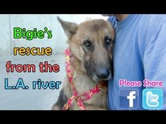 Watch This Touching Rescue of An Abandoned Old GSD Who Is Trapped In the LA River!