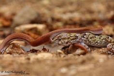 A unique bushveld battke between gecko and snake