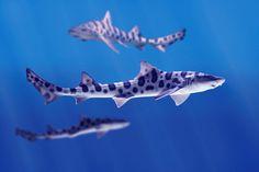 earthlynation:    Leopard Sharks by LaJollaKayak