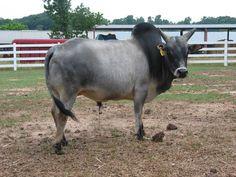 zebu (sacred cow of India)