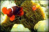 Anemon dan Ikan Badut