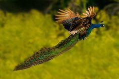 Peacock's Garden: Photographies