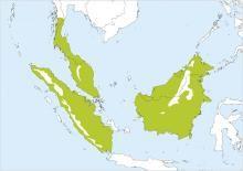 Black-bellied Malkoha (Phaenicophaeus diardi)