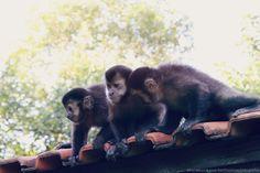 Macacos no Parque Arthur Thomas - Londrina - Pr - Brasil