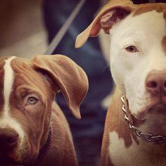 Ich werde viel Hunde haben. Ich liebe Pitbulls, weil ich mit ihnen aufgewachsen.