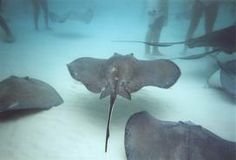 Been there done that!    Stingray City, Cayman Island,had fun swimming with the stingrays!!!