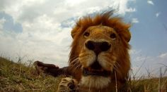 Incredible pics! Remote-Controlled Robot Survives Encounter With Lion; Has Pictures to Prove It
