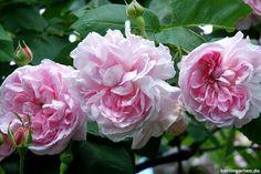 Rosa damascena Fantin Latour