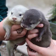 Baby otters! How cute is that!