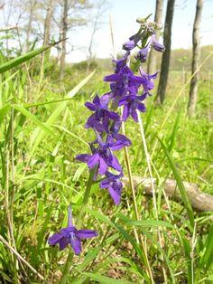 Missouri Wildflower Guide Gres Wildflowers Wild Flowers Herbs