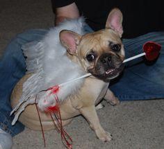 Roxy, the French Bulldog as Cupid.