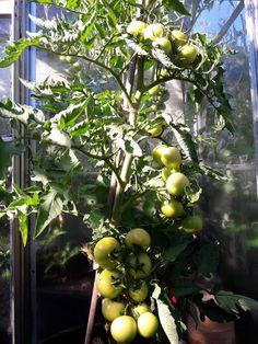 Fasters UrteHave: tomater tomater tomater..