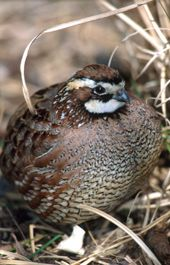 Northern Bobwhite Quail - Colinus virginianus   Upland birds are known for several traits which distinguish them from other birds. They are chicken-like in appearance, and have short, rounded wings, short heavy bills, and heavy bodies. They stay on dry ground and seek cover in brush or woodlands. #wildohio #ohiobirds